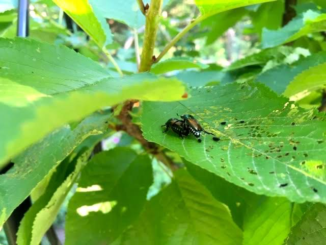 Japanese beetles mating on cherry tree leaves in my garden. (Photo by Charlotte Ekker Wiggins)