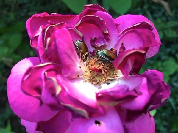 Japanese beetles eat all garden edibles including roses. (Photo by Charlotte Ekker Wiggins)