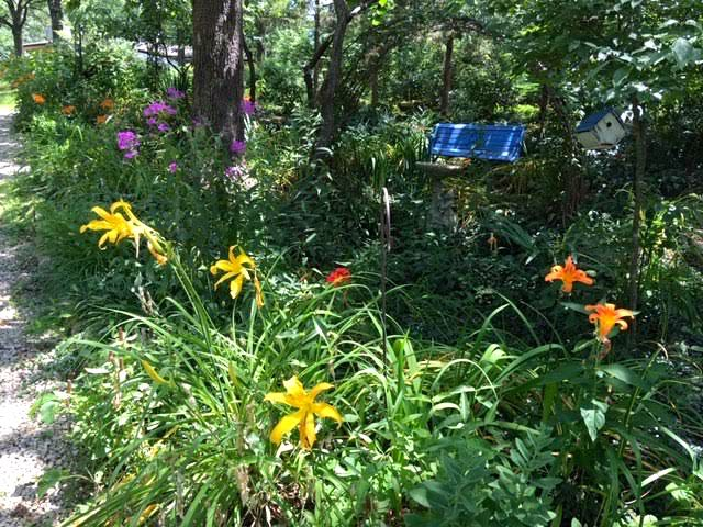 A variety of daylilies line my driveway to the house. (Photo by Charlotte Ekker Wiggins)
