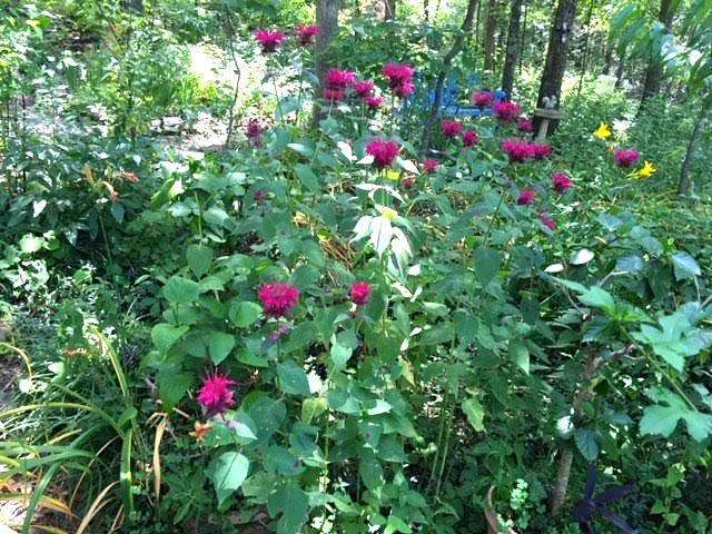 Raspberry bee balm has spread through the hyssop flower bed. (Photo by Charlotte Ekker Wiggins)