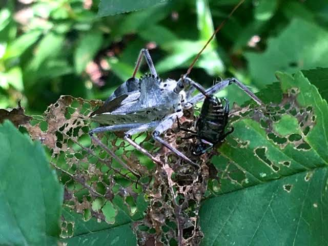 Assassin bug makes a meal out of a Japanese beetle in my garden. (Photo by Charlotte Ekker Wiggins)