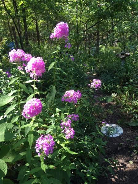 Missouri's native pink phlox blooms now until frost. (Photo by Charlotte Ekker Wiggins)