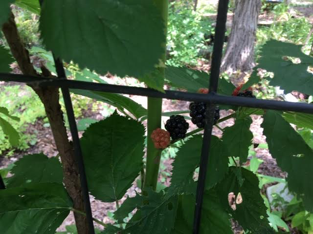 The first ripe blackberries on my cattle panel arbor. (Photo by Charlotte Ekker Wiggins)