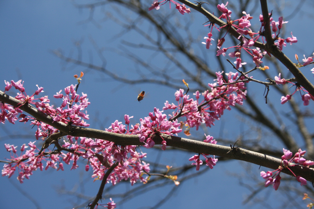 One of my honey bees visits a blooming Eastern Redbud tree in my spring garden. (Photo by Charlotte Ekker Wiggins)