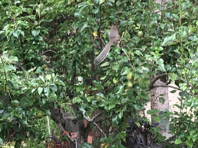 Gray squirrel selecting a green pear to pick. (Photo by Charlotte Ekker Wiggins)
