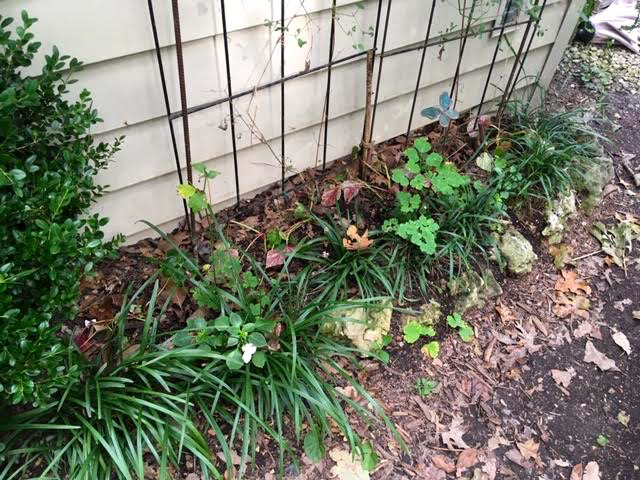 Liriope lines this shallow border where columbine and impatiens grow behind it. (Photo by Charlotte Ekker Wiggins)