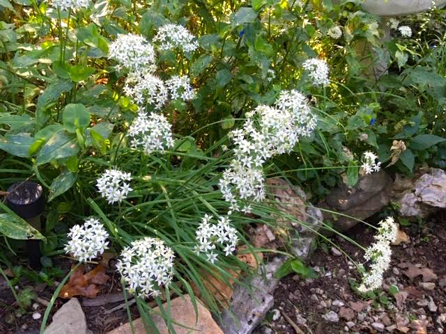 These garlic chives came from a neighbor's house and finally bloomed this year. (Photo by Charlotte Ekker Wiggins)
