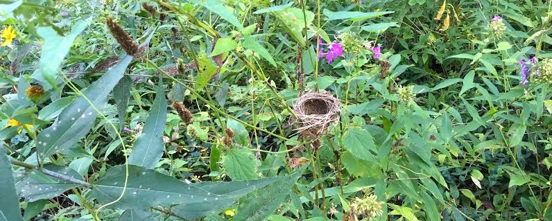 A little bird's nest was built in a native Missouri phlox bed in my garden. (Photo by Charlotte Ekker Wiggins)
