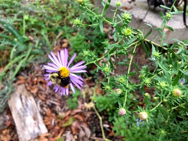 Bumblebee on New England Asters are one of the many food pollinators. (Photo by Charlotte Ekker Wiggins)