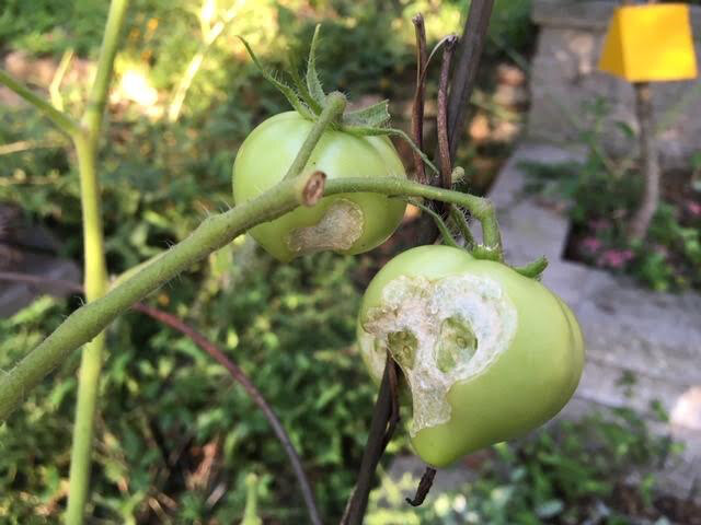 Hornworms feed on green tomatoes as they grow. (Photo by Charlotte Ekker Wiggins)