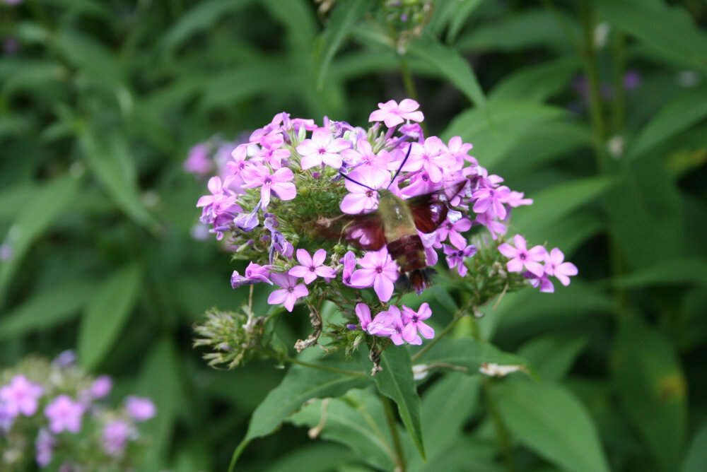 This lovely hummingbird moth is the end result of the much maligned tobacco hornworm. (Photo by Charlotte Ekker Wiggins)