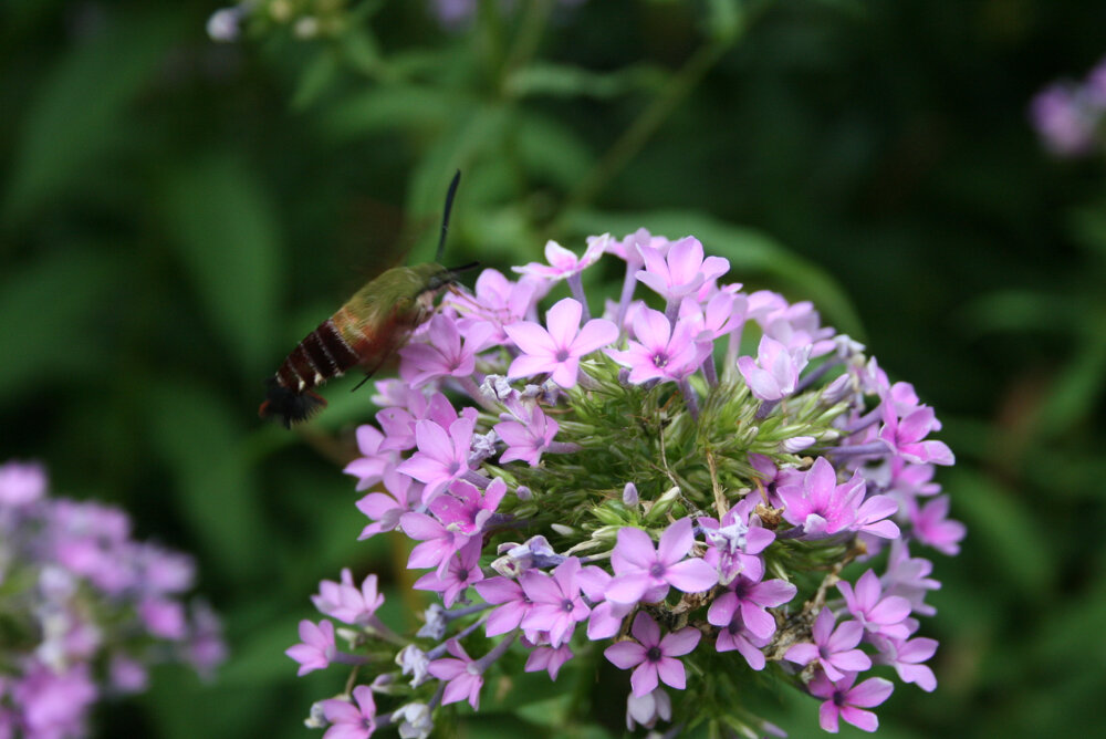 Lovely tobacco hornworms turn into these beautiful hummingbird moths. (Photo by Charlotte Ekker Wiggins)