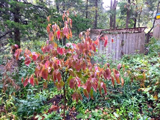 My native dogwoods are turning red, kicking off the display of fall color. (Photo by Charlotte Ekker Wiggins)
