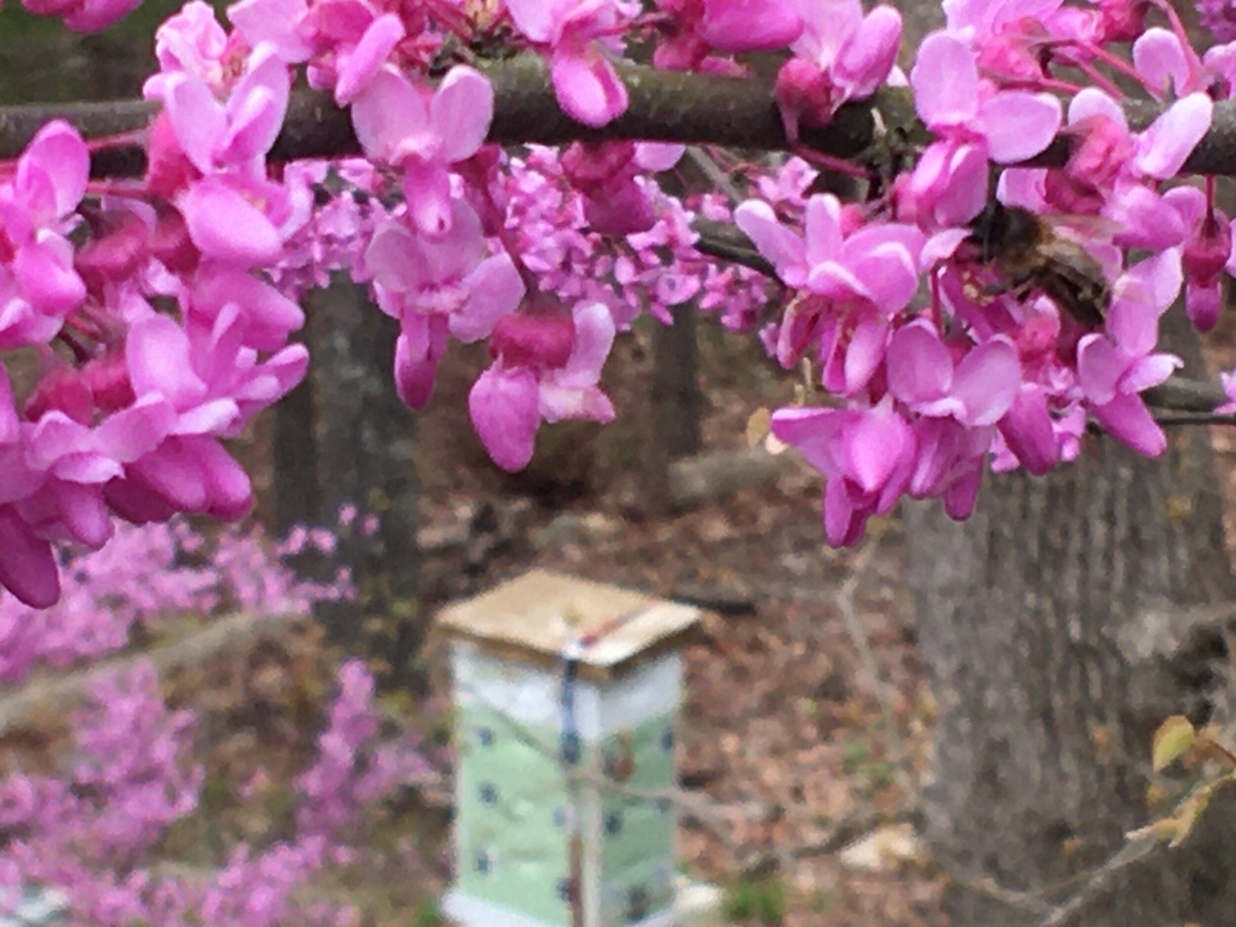 Eastern Redbud Trees Spring Garden Tips Gardening Charlotte