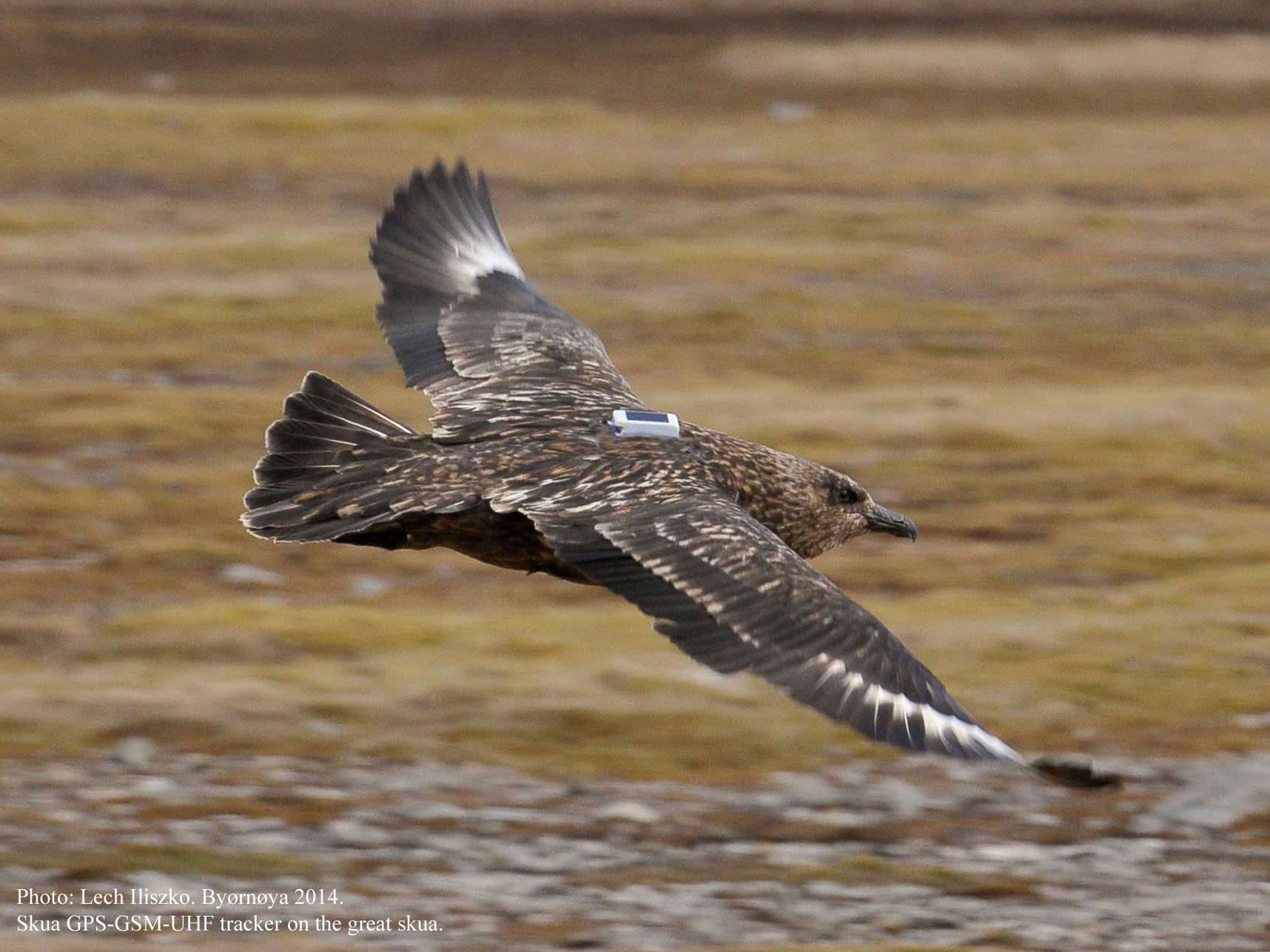 Skua_foto_LIL_podpisane_for_www_2016.jpg