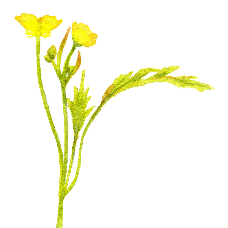 meadowlane_yellowsinglestem.jpg