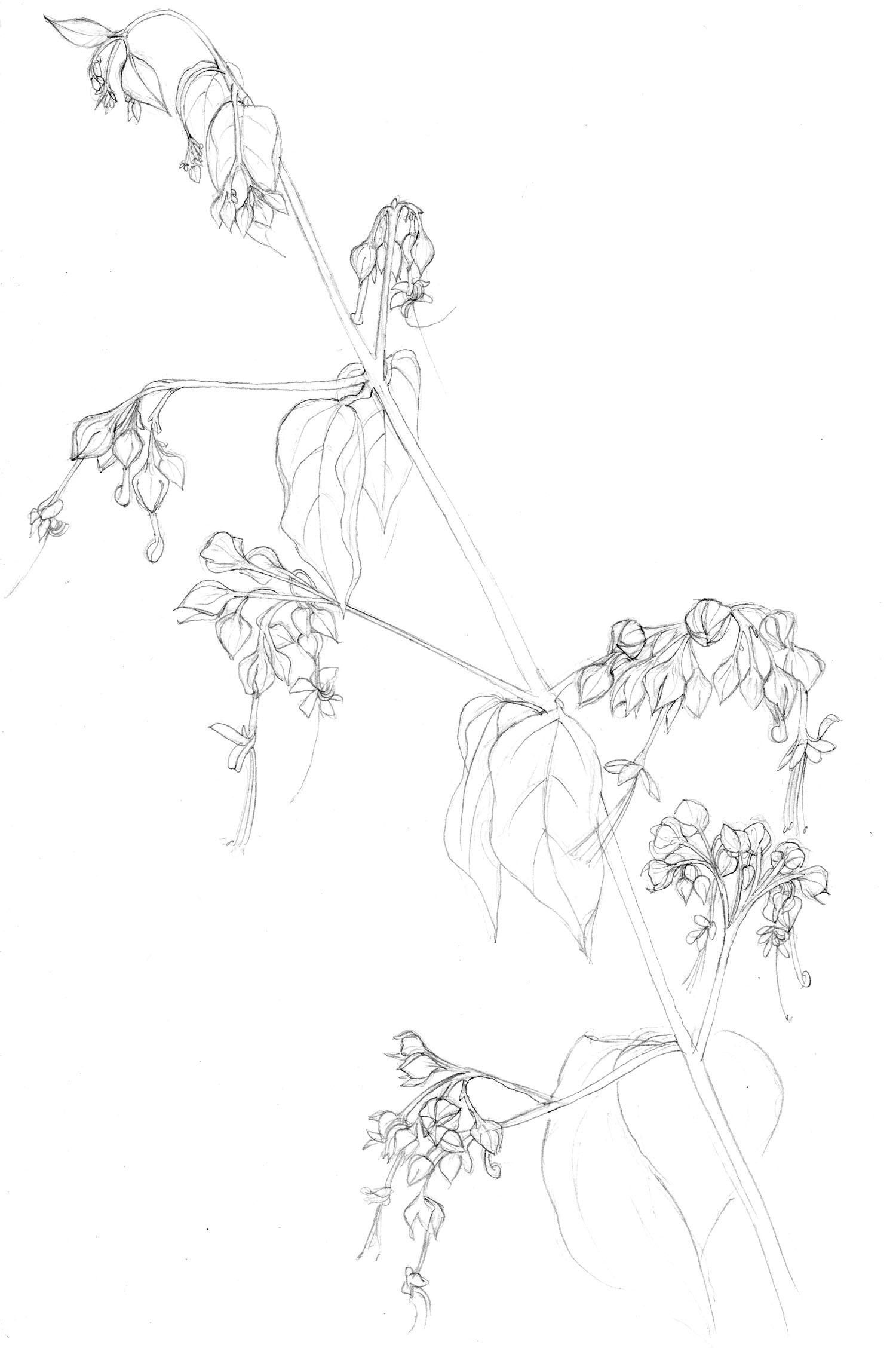 pencil_Chinese lantern flowers.jpg
