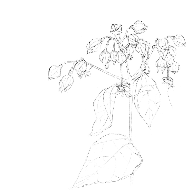 pencil_Chinese lantern flowerssinglestem.jpg