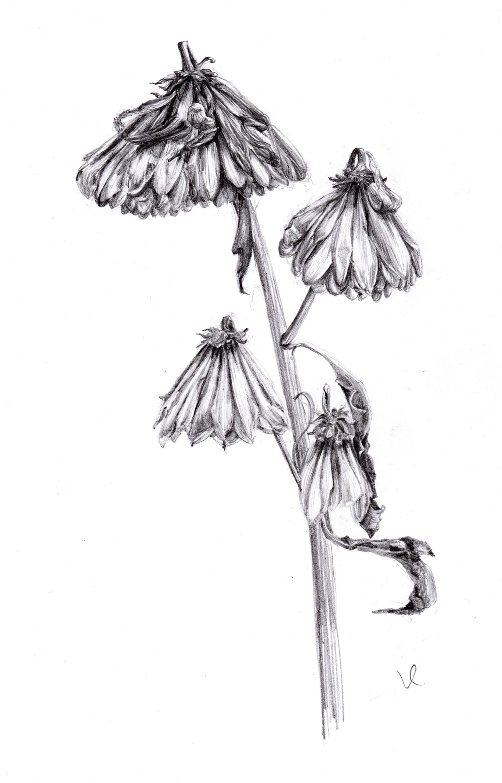 decaying chrysanthemum001.jpg