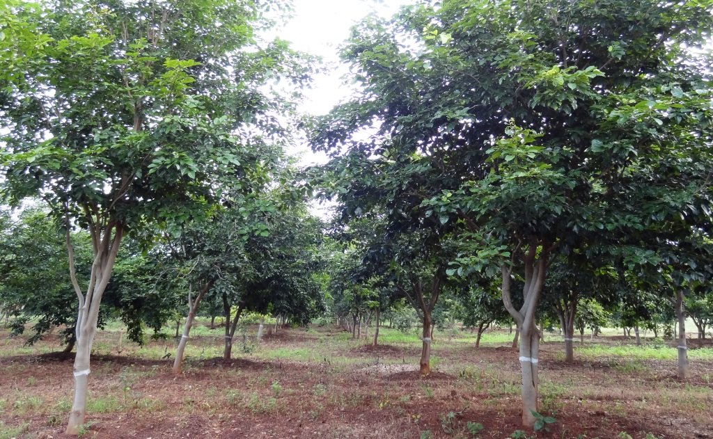 7 Year old pongamia at the toil farm. livestock can graze beneath the trees.