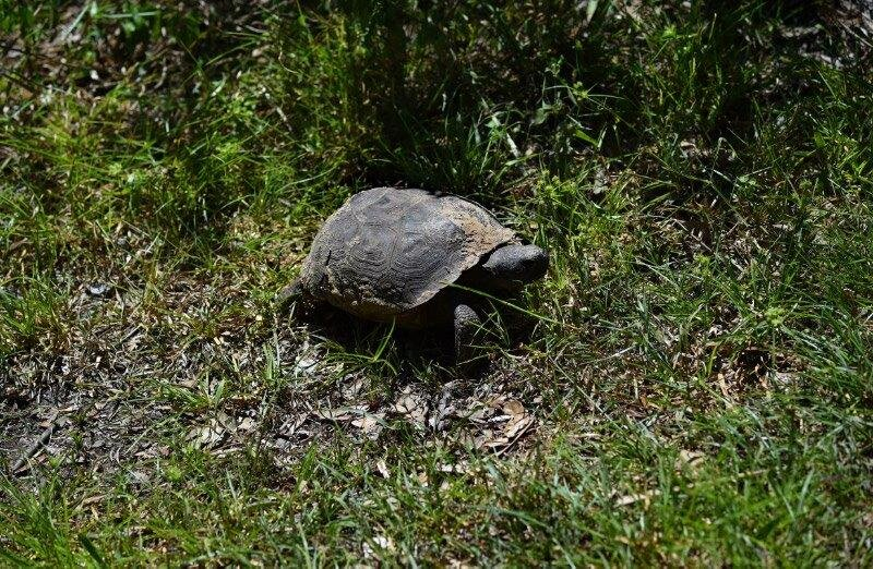 Several juvenile gopher tortoises were spotted this year.