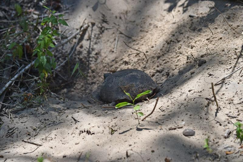 A juvenile tortoise near home.