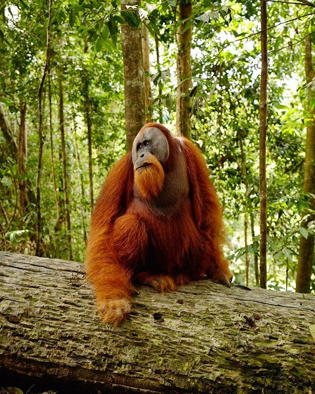 "This is a moment that I will keep with me until I put my camera down.  This wild male was perched peacefully on this log when I came over the crest of a mud smothered hill deep in the rainforest of the Leuser Ecosystem in Indonesia. When I arrived, he only glanced at me and stayed calm as if inviting me to share a moment of jungle serenity with him. ""Welcome to the jungle"" I thought to myself as if it were coming from his mouth. I kept on looking at him and thinking of him as a philosopher. He was clearly thinking, I can only wonder about what, but he was thinking deeply. I put the camera down and thought to myself too.  I don't really know what more to say about this one, I'm here to try to raise awareness about how the palm oil industry is ravaging the home of this creature yet I don't understand how anything would be worth putting an animal like this in jeopardy of going extinct. I think we all need to take some time, like him, to think deeply and decide what's worth fighting for. • • • • • • • • • • • • • • #LEUSER #LEUSERECOSYSTEM #ORANGUTAN #ORANGUTANRESCUE #SAVEOURRAINFOREST #CONFLICTPALMOIL"