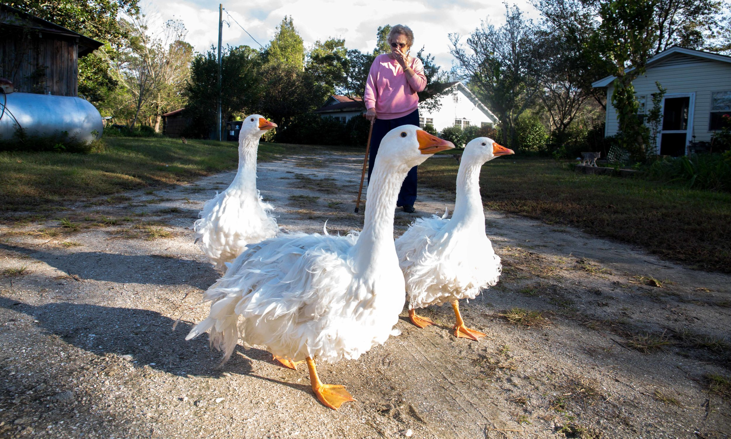 Grandma Suzanne herds the swans with her cane outside the Green Swamp in North Carolina. The Green Swamp is one of a handful of places where Fly Traps grow in the wild.