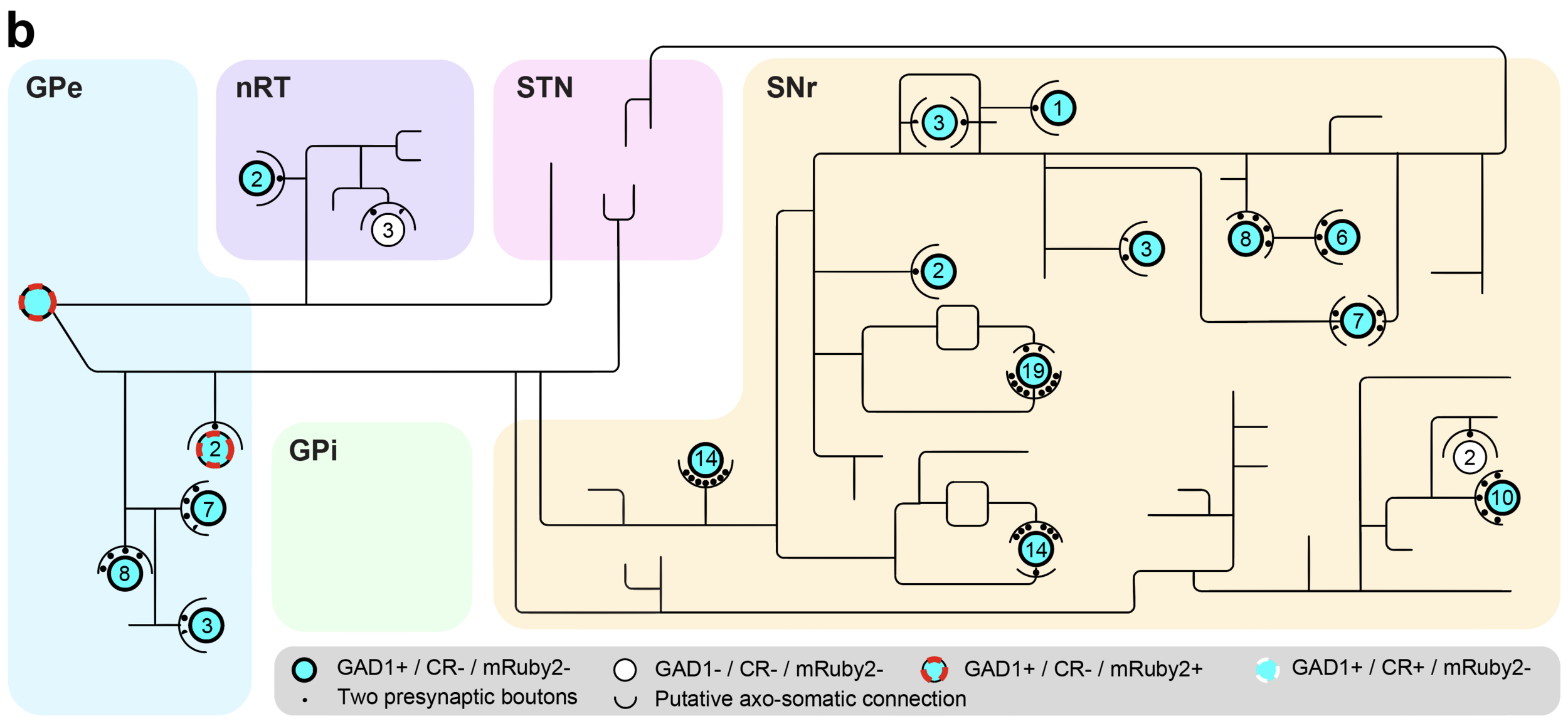 Figure 1.  SHIELD enables integrated circuit reconstruction at single cell resolution. (a) 3D rendering of virus-labeled PV+ neurons in GPe with reconstructed axon trace of one of the neuron. Syp-EGFP, Synaptophysin-EGFP. Scale bar : 1 mm. (b) An axogram of the traced neuron and its putative downstream targets. The number of putative axosomatic boutons is marked inside each circle.