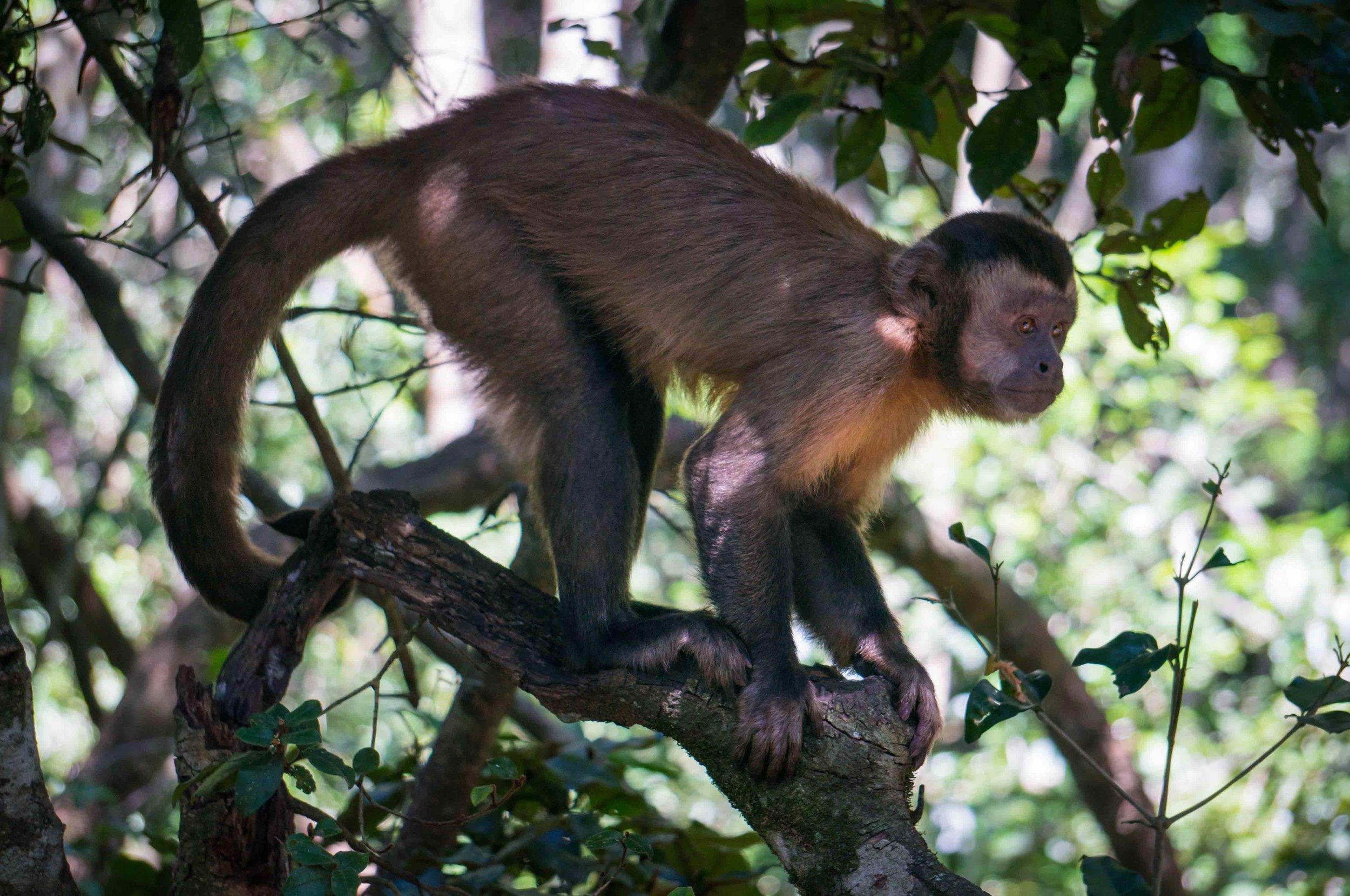 Capuchin Monkey.jpg