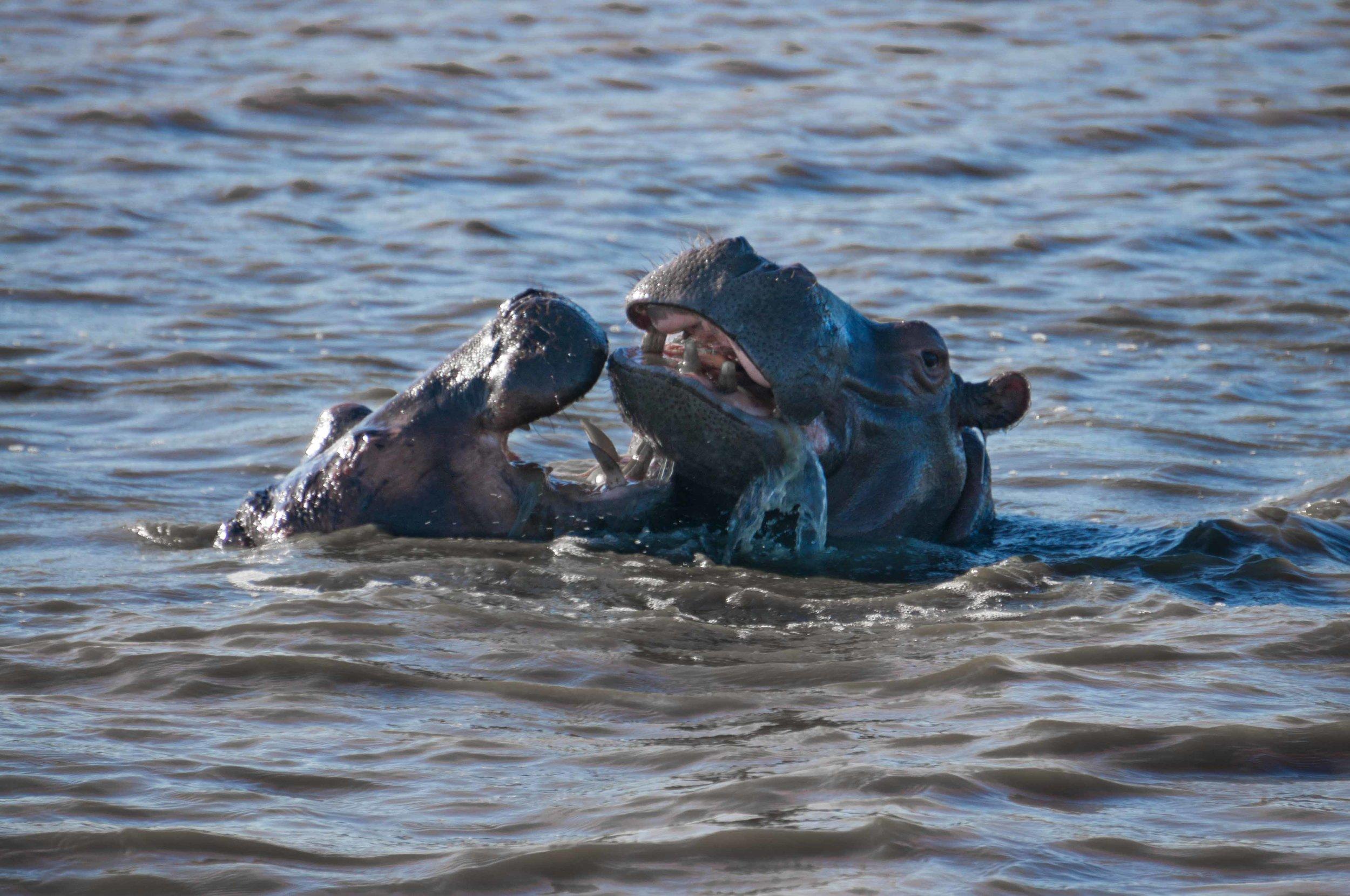 Fighting Hippos.jpg