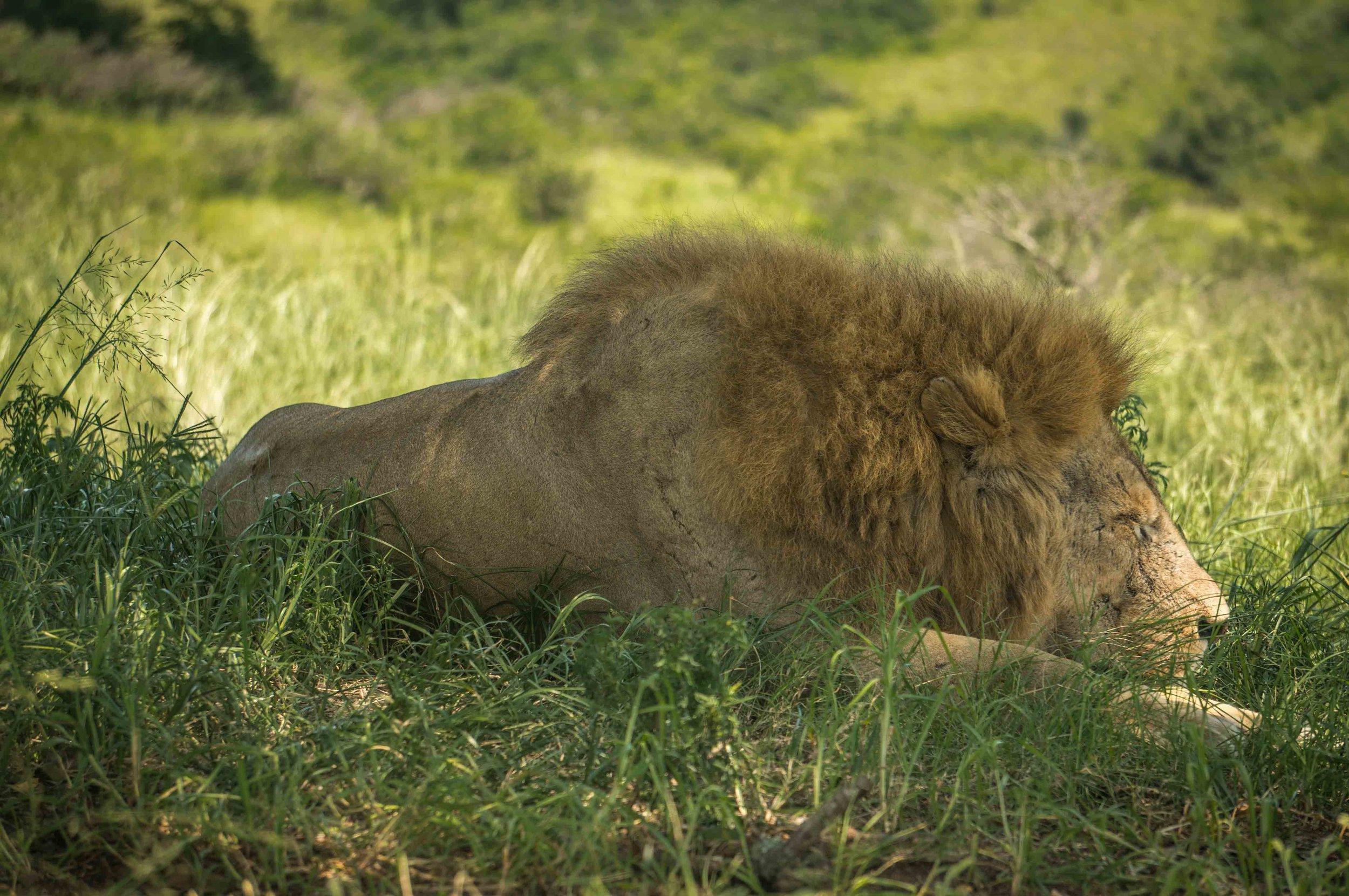 Sleeping Lion 2.jpg