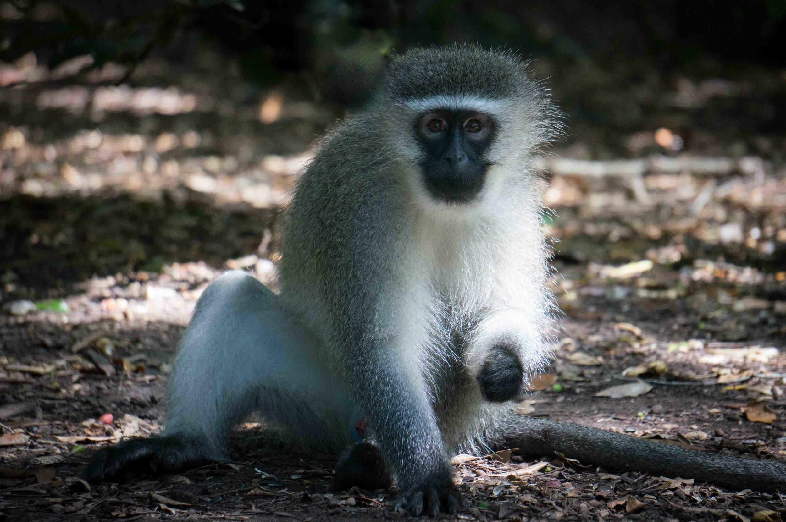 White Monkey.jpg
