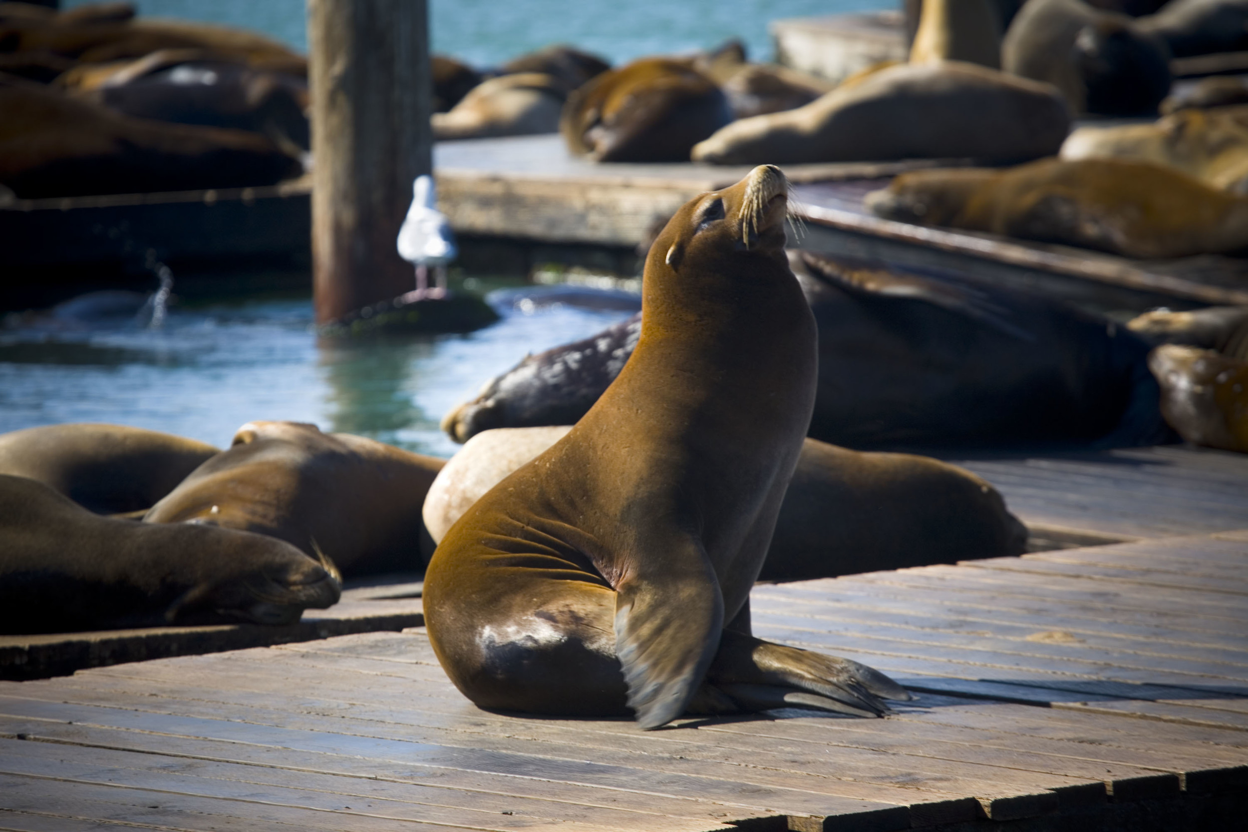 Sea Lions Fisherman S Wharf San Francisco