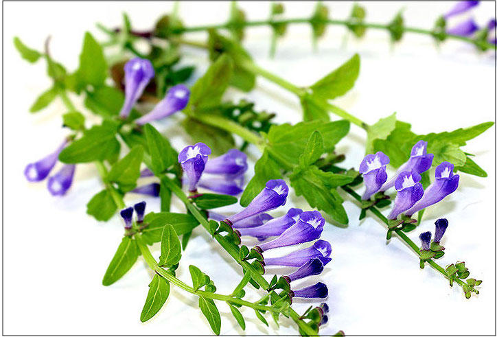 Skullcap -- an herb that may help reduce anxiety and stress during the postpartum period.