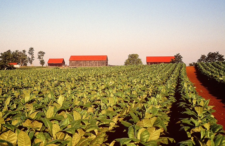tobacco_field.jpg