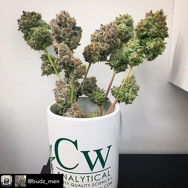 "Looking forward to testing these beauties from our friends @budz_men 👊💚🌿 / ""Takedown days are the best days, and also the most fragrant. Coming at you guys soon!"" / / / / / / / #cwanalyticallab #bayareastoners #ostf#cannabicommercialcultivator#supportyourgrower#cwclean#knowyourmedicine#plantmedicine#cannabiscommunity#cannabisindustry#420life#cannafam#sciencelab#cannabislab#thc#potency#knowyourfarmer#teamworkmakesthedreamwork"