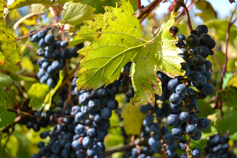 Grape Vines_Aamodt.jpg