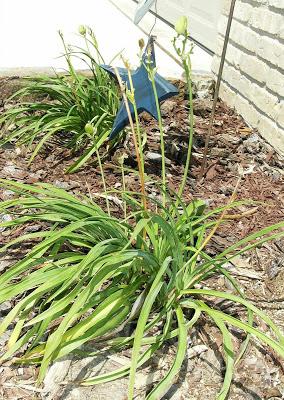 Daylilies with sad foliage and seed heads.