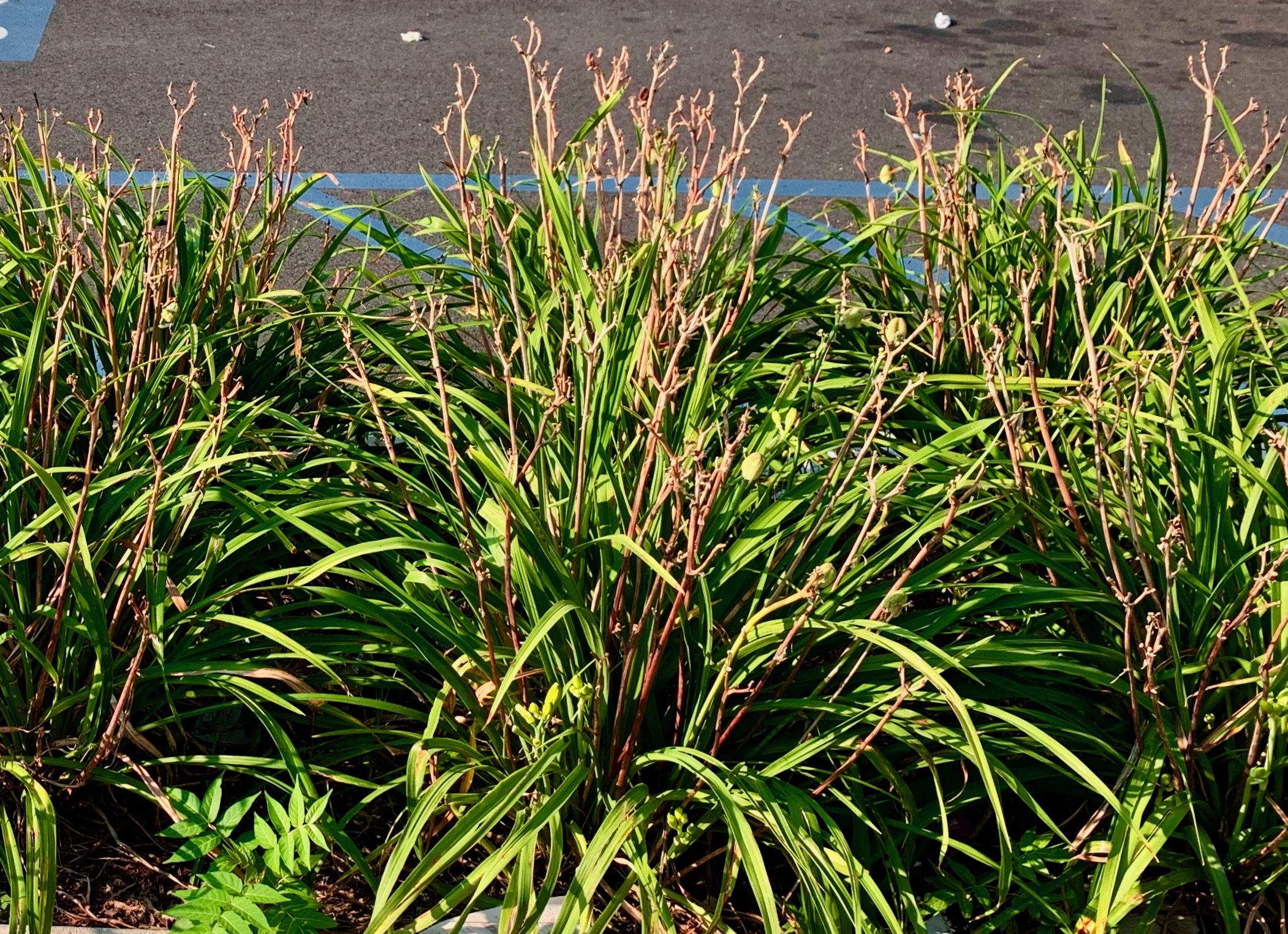 Dead flower stalks