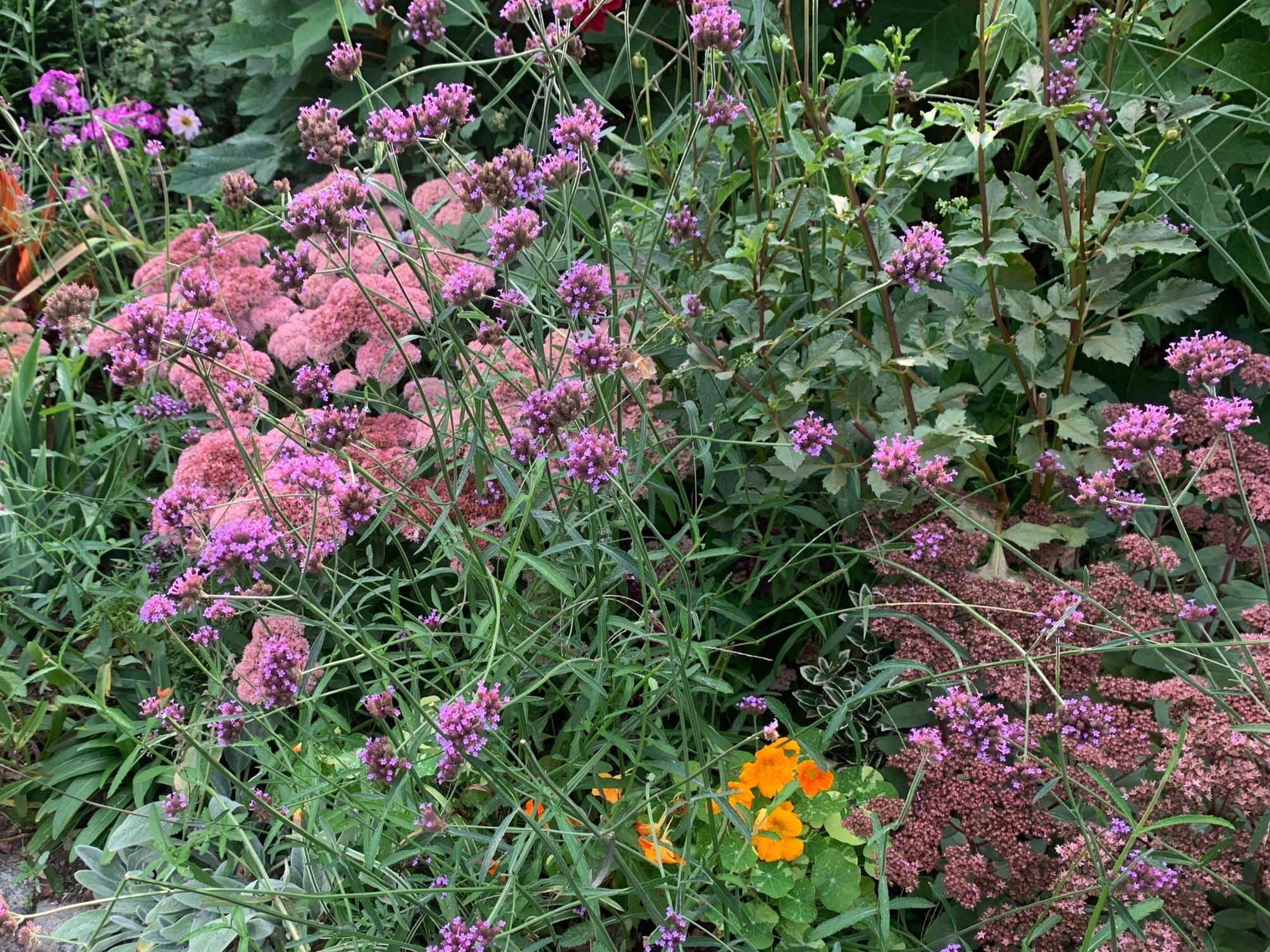 Smorgasbord of Verbena b., Nasturtium 'Alaska', Sedum 'Autumn Joy', Sedum 'matrona', and Dahlia 'Bishop of Dover'