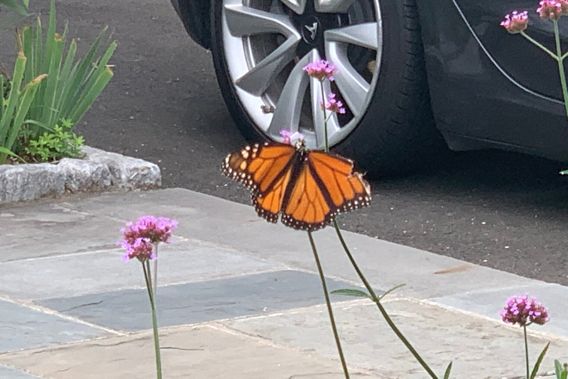 This monarch's upper right wing is damaged, but it's still getting around
