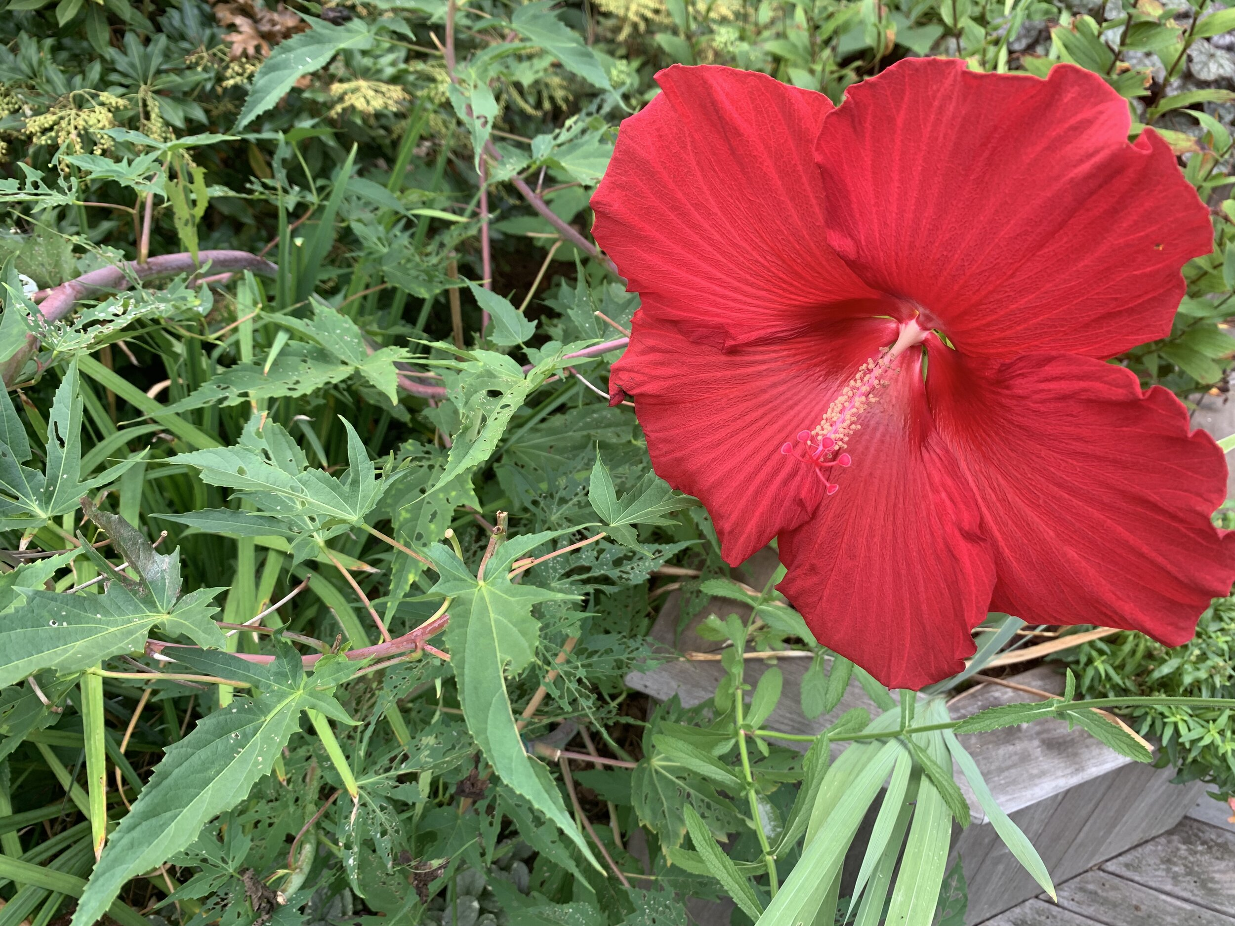 The hardy hibiscus attracts hummingbirds, but I have to share the leaves with some leaf-muncher.