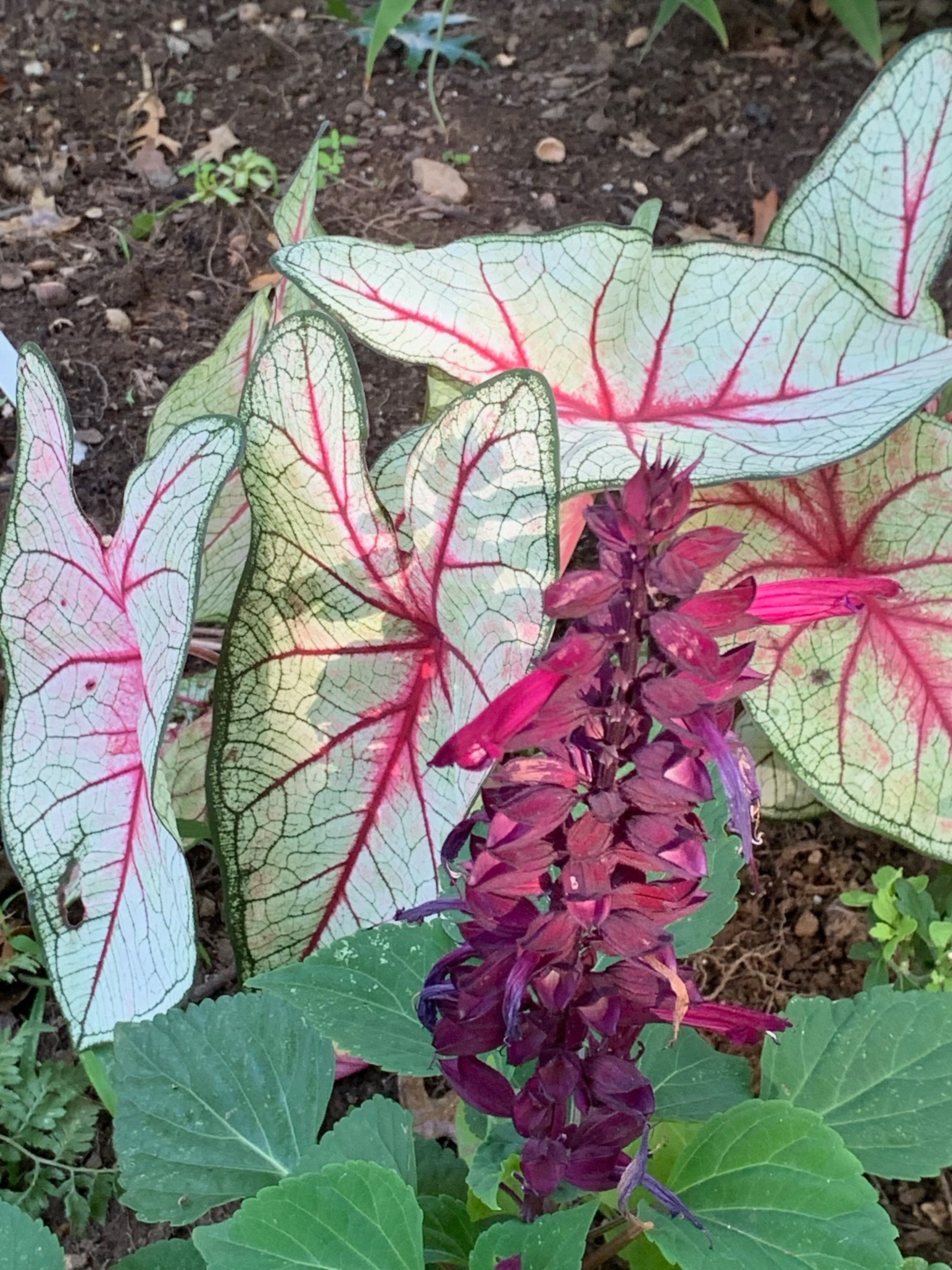 Caladium and Salvia