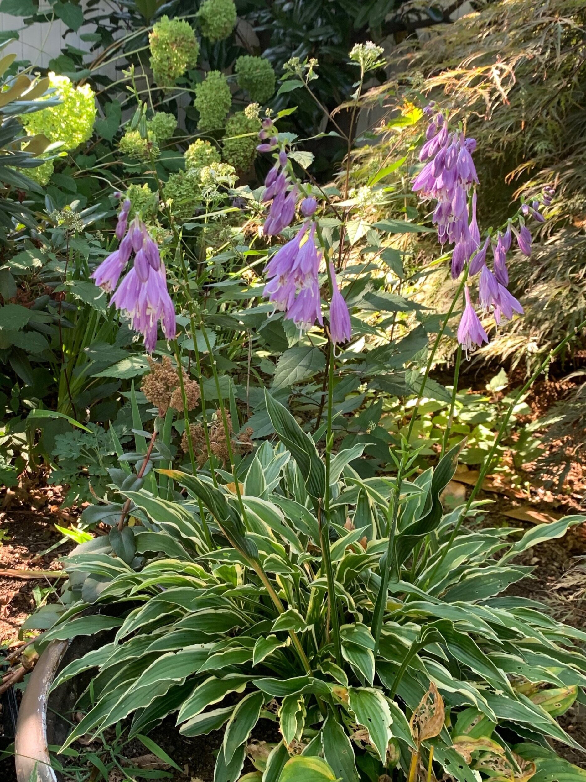 Hosta Blooms in a Container