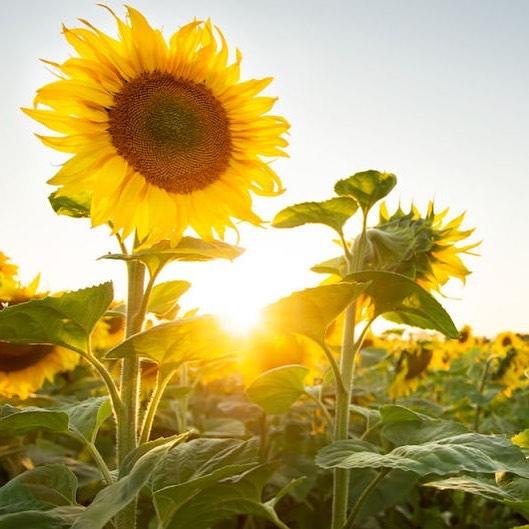 Vibrant as a sunflower.