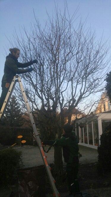 So sah der Baum vor seinem Schnitt aus. Felix ist gerade dabei die ersten Schnitte vorzunehmen.
