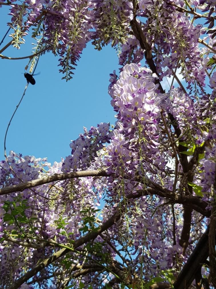 Hier fliegt gerade die Blaue Holzbiene, eine besondere Bienenart. Sie öffnet die Blüten mit ihrem Rüssel und kommt so an Nektar und Pollen. Ist die Blütenöffnung zu eng, beisst sie diese auf.