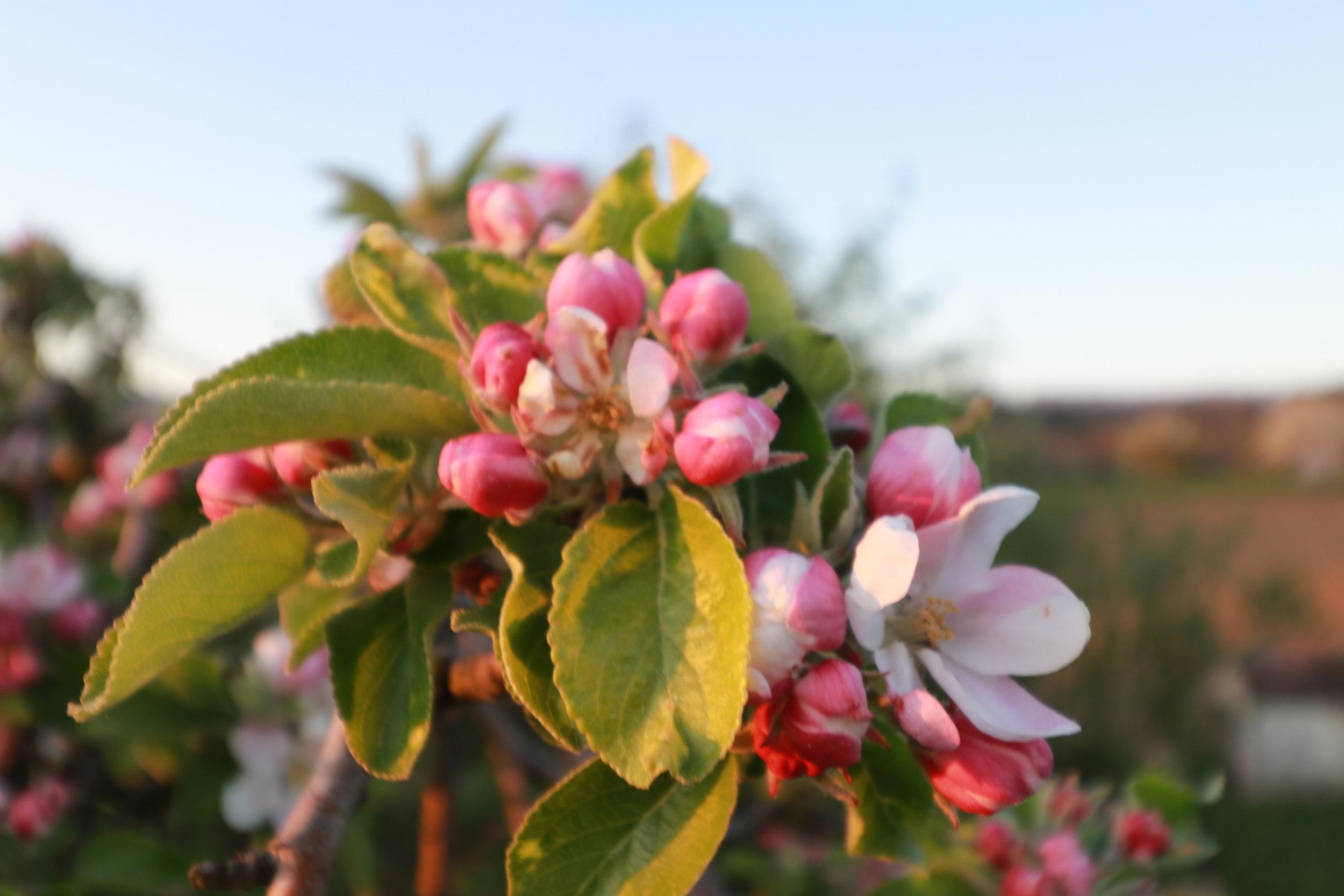 Apfelblüten, wie diese,werden am Ende dieses Gartens im Obstgarten zu sehen sein.