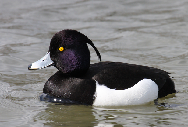 Tufted-Duck-Pictures.png